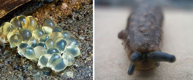 Эти моллюски отличаются живучестью